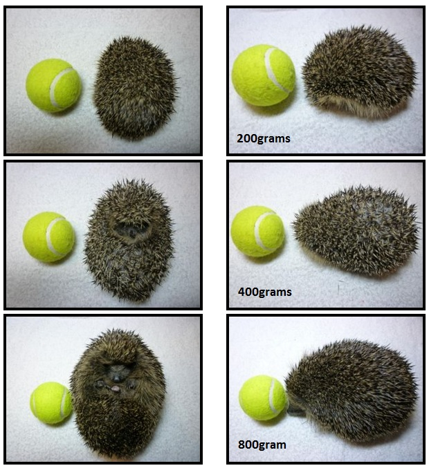 HedgehogSizes